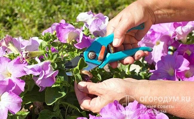 Как прищипывать петунию, чтобы она шикарно цвела