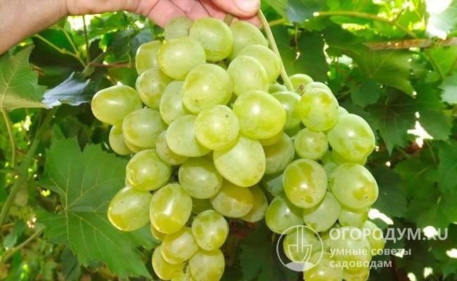 Виноград «гарольд»: описание сорта, фото и отзывы