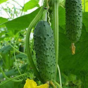 Описание огурца сорта Изящный, его характеристика и выращивание