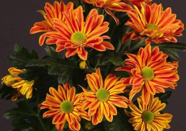 Особенности и описание кустовых хризантем сорта Джорди, посадка и уход