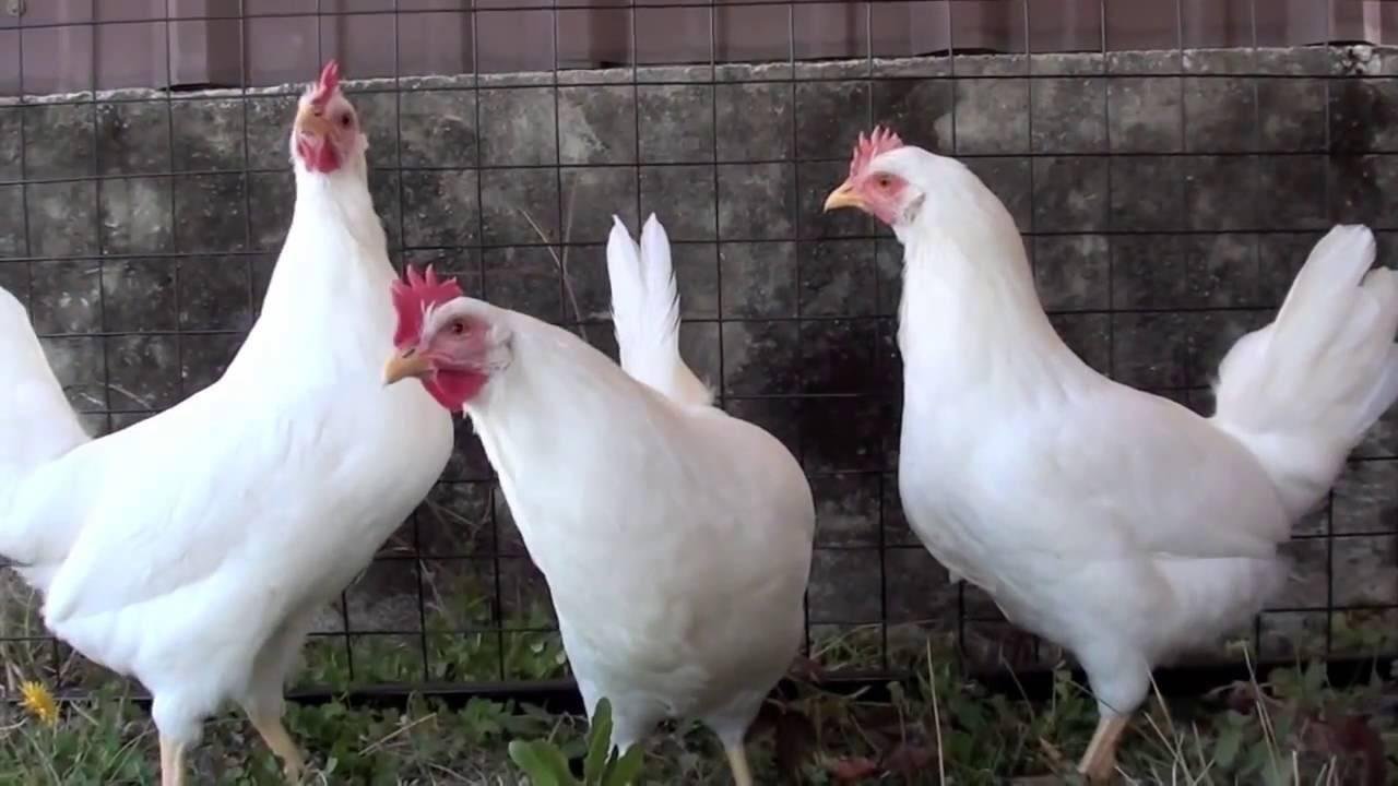 Леггорн в-33: характеристики мясояичного кросса кур