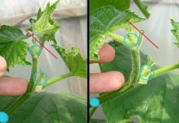 Как правильно прищипывать огурцы в открытом грунте