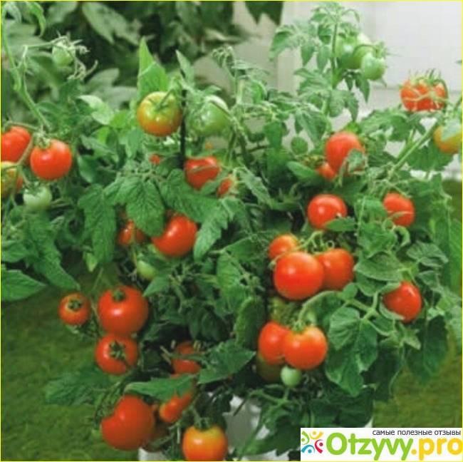 Томат ляна – описание сорта, урожайность, фото и видео о сорте