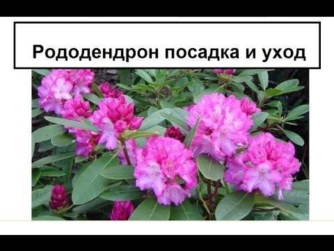 Рододендрон, или розовое дерево