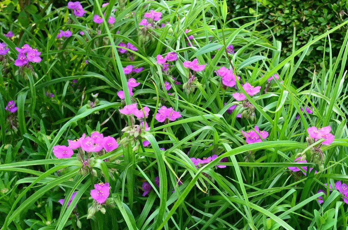 Описание 15 видов традесканции садовой, посадка и уход в открытом грунте и дома