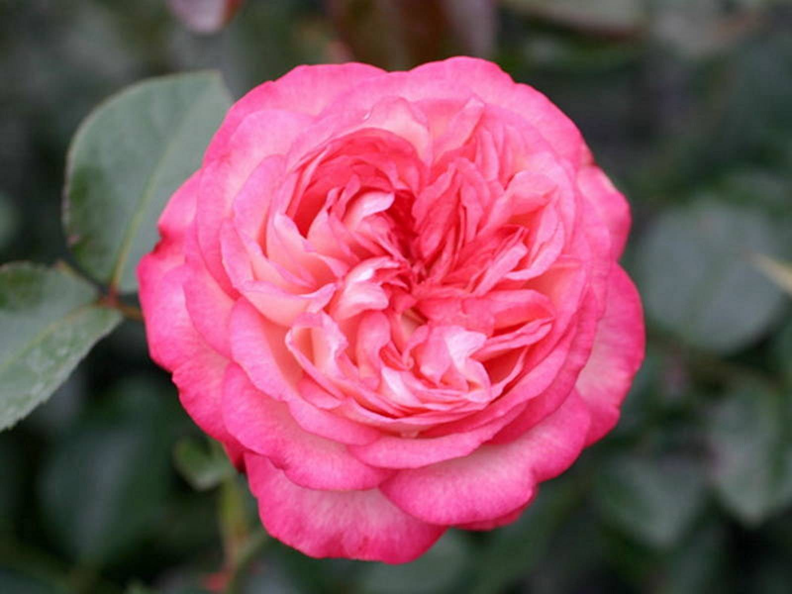 Роза — королева цветов: посадка и уход в открытом грунте