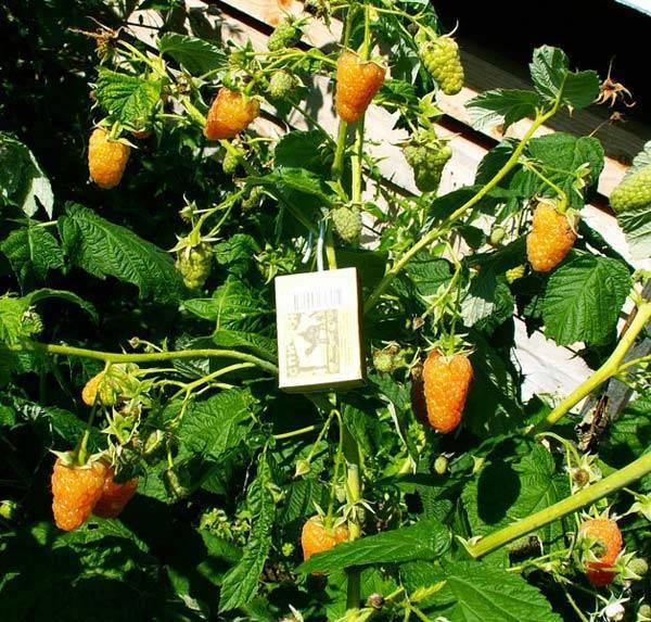 Сорт малины оранжевое чудо: какие нюансы нужно учитывать при посадке и уходе за растением