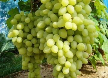 Описание сорта винограда триумф