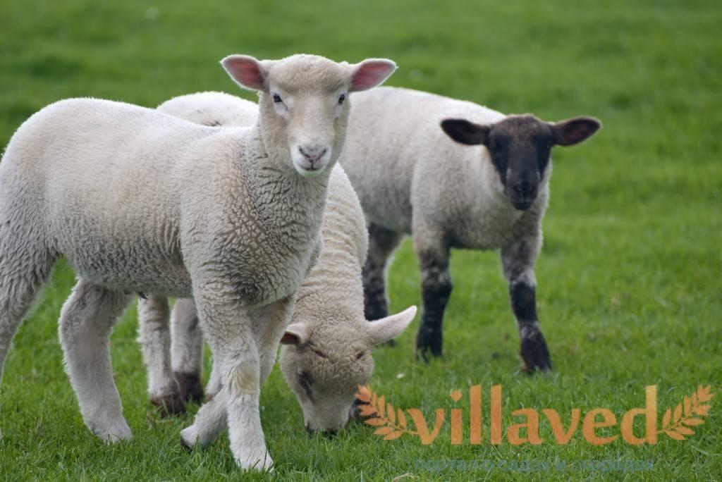 Описание овец породы дорсет, главные преимущества и возможности для скрещивания