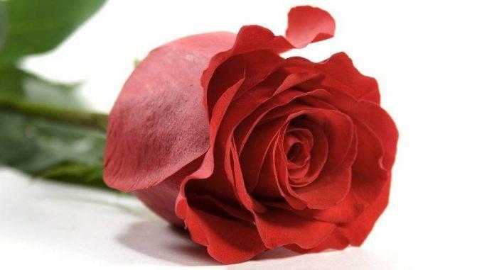Чайно-гибридная роза гранд аморе. описание растения, фото и практические рекомендации по уходу за цветком