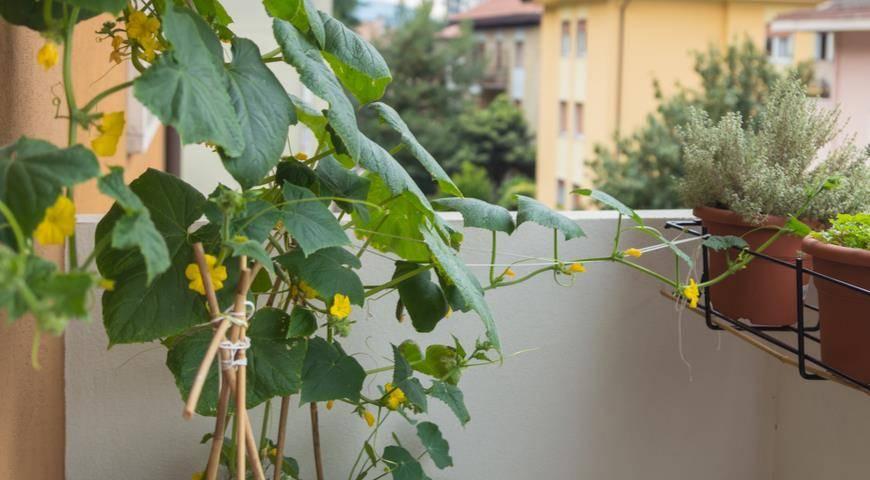 Мини-огородик: огурцы на балконе, 5 правил выращивания