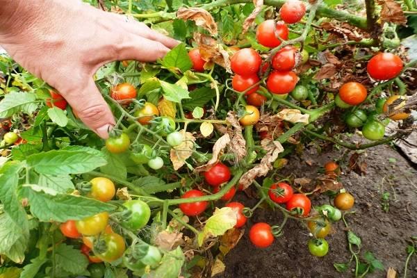 Проверенный временем томат «черный принц»: описание сорта, характеристика, выращивание, фото