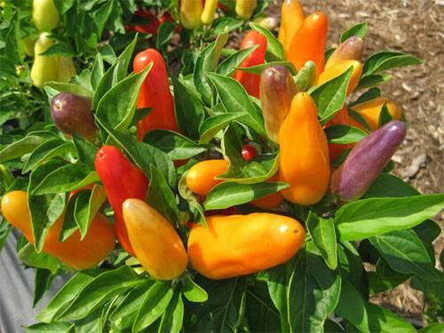 Посадка, выращивание и уход за горьким перцем в открытом грунте