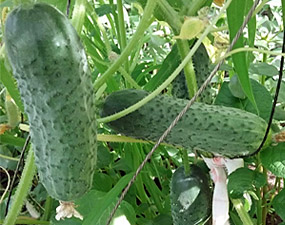 Огурец паратунка f1: характеристики, агротехника, отзывы