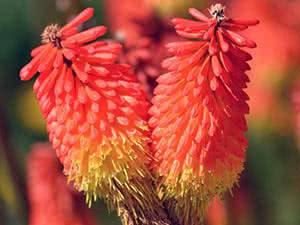 Тритома или книфофия: посадка и уход в открытом грунте, фото и особенности выращивания южноафриканского растения с колосовидными соцветиями