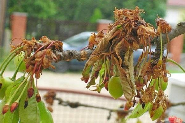 Чем обработать вишню от вредителей весной и осенью, методы борьбы и защиты