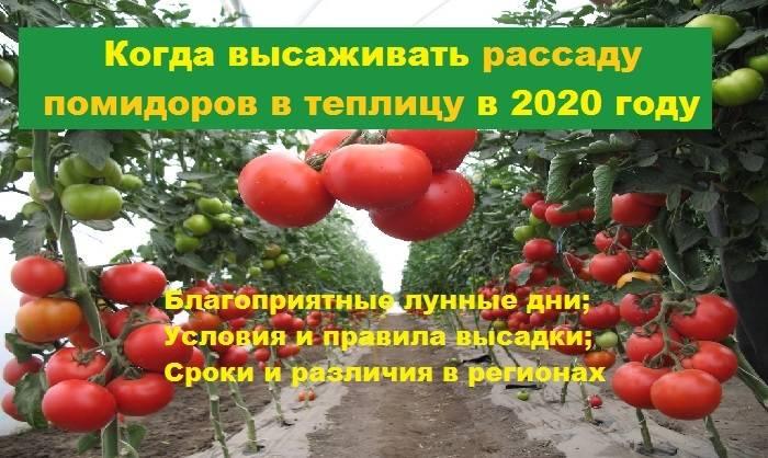 Как вырастить помидоры по лунному календарю