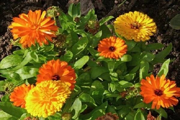 Календула: описание и выращивание растения