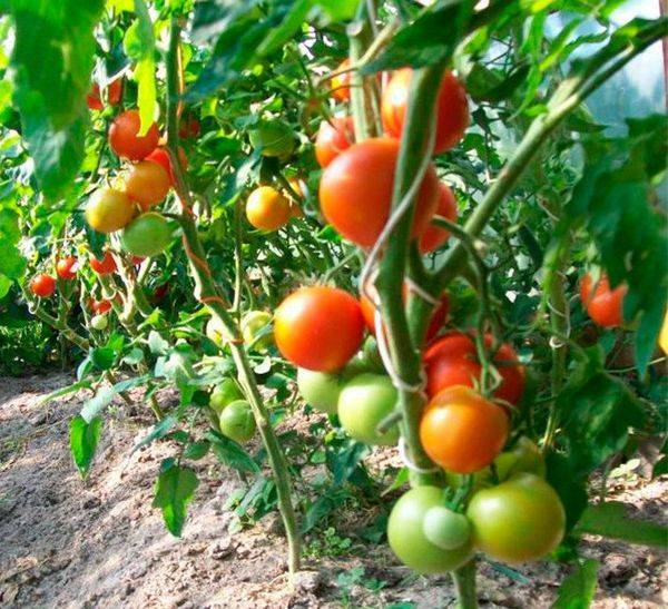 Томат «ля ля фа» f1: характеристика сорта, описание и фото помидоров