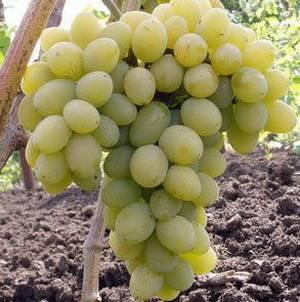 Виноград супер-экстра: сверхранний сорт, зреющий в 3 декаде июля