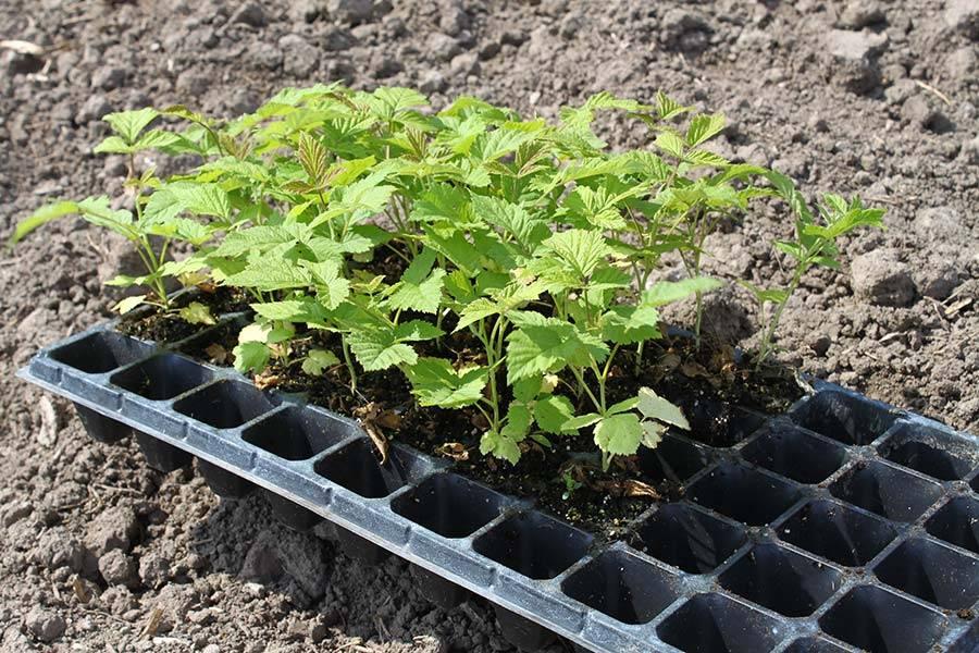 Как вырастить малину из семян в домашних условиях: советы специалистов