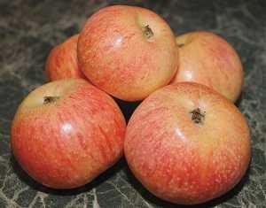 Яблоня медуница: особенности сорта и ухода