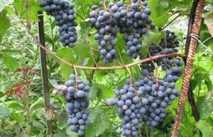 Виноград донские зори: характеристика сорта и рекомендации по выращиванию