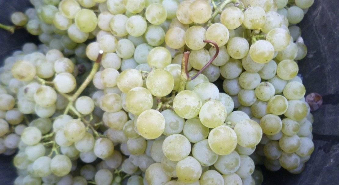 Виноград «цитронный магарача» для сухого и десертного вина
