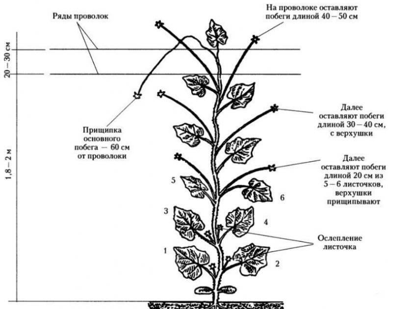 Как правильно пасынковать огурцы в теплице: особенности и способы формировки