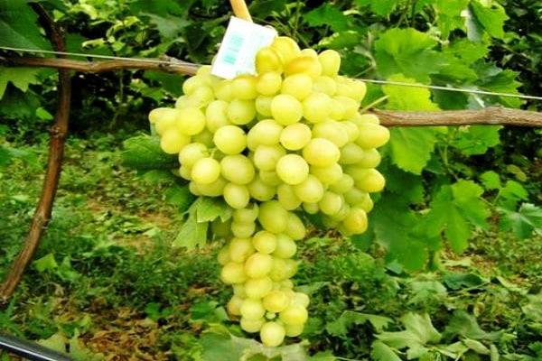 Виноград аркадия — один из лучших ароматных сортов на отечественном рынке