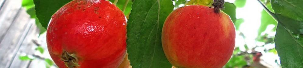 Яблоня «серебряное копытце» — описание сорта и агротехника выращивания