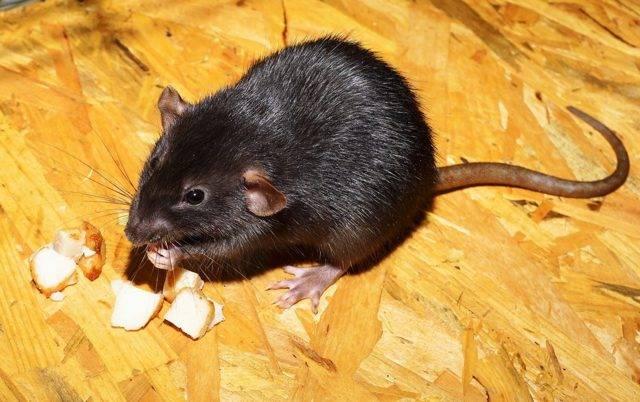 Как можно избавиться от крыс в курятнике: эффективные способы