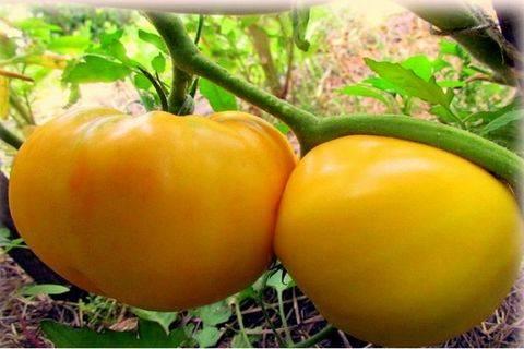 Томат «гигант лимонный»: первый в списке лучших желтоплодных сортов