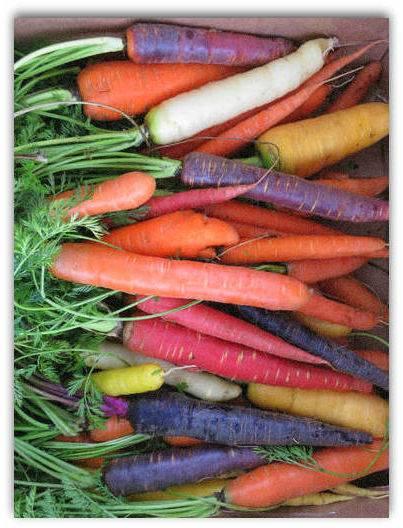 Характеристика и описание гибрида моркови абако f1, выращивание и уход