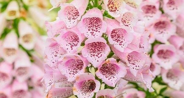 Цветы наперстянка, выращивание