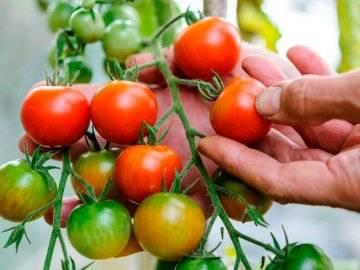 Лучшие сорта низкорослых томатов для теплицы из поликарбоната