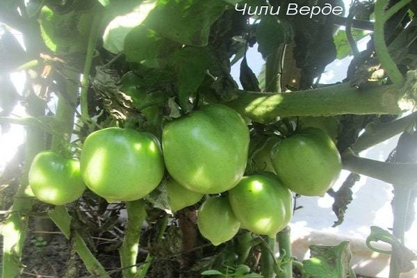 Как ухаживать за помидорами черри: советы по выращиванию, полезные свойства и варианты применения томатов (95 фото)