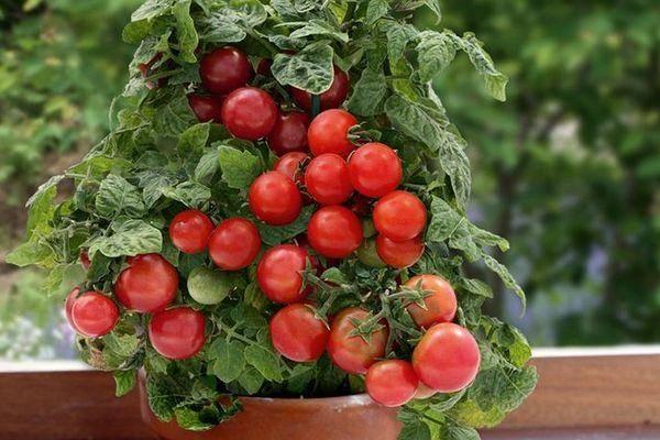 Сюрприз томатного мира — описание характеристик сорта помидор «грибное лукошко»