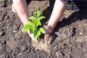 Как правильно размножать ремонтантную малину осенью и весной
