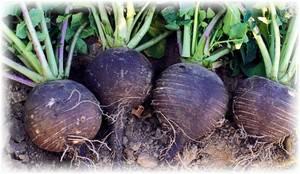 Выращивание черной редьки в открытом грунте