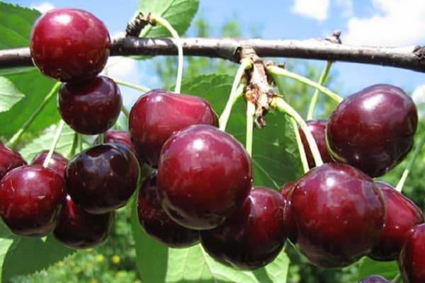 19 лучших сортов вишни для урала — какие лучше садить, отзывы