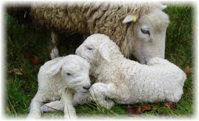 Основные заболевания овец и их симптомы. анаэробная дизентерия ягнят
