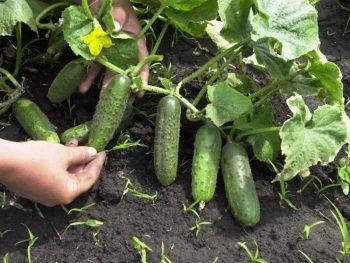 Какие сорта огурцов лучше сажать в подмосковье с прицелом на хороший урожай?