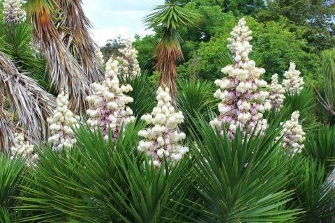 Юкка: описание растения, целебные свойства и выращивание