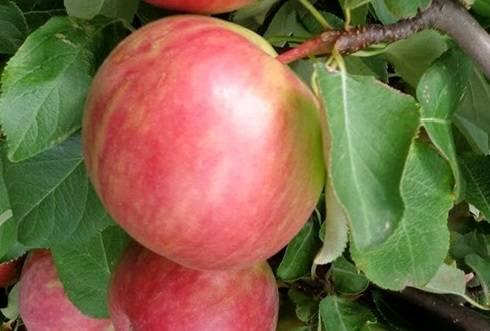 Яблоня соковое: особенности сорта и ухода