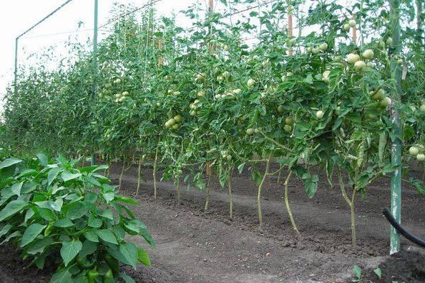 Какими преимуществами обладает томат агата — описание сорта и особенности выращивания