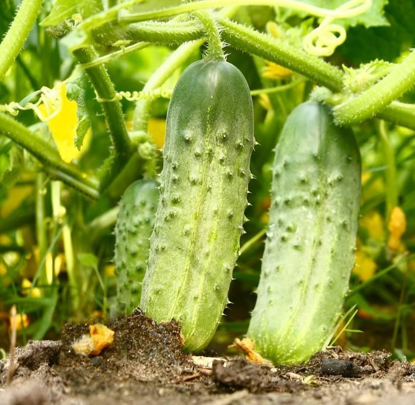 Подкормка огурцов в теплице – какие удобрения и когда использовать