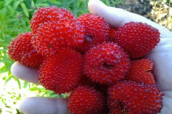 Список лучших способов для правильного размножения малины
