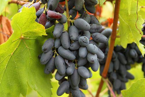 Виноград памяти негруля — вкусный, красивый, неприхотливый