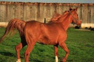 Скорость лошади какую скорость может развить лошадь